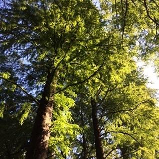 metasequoia-2.JPG